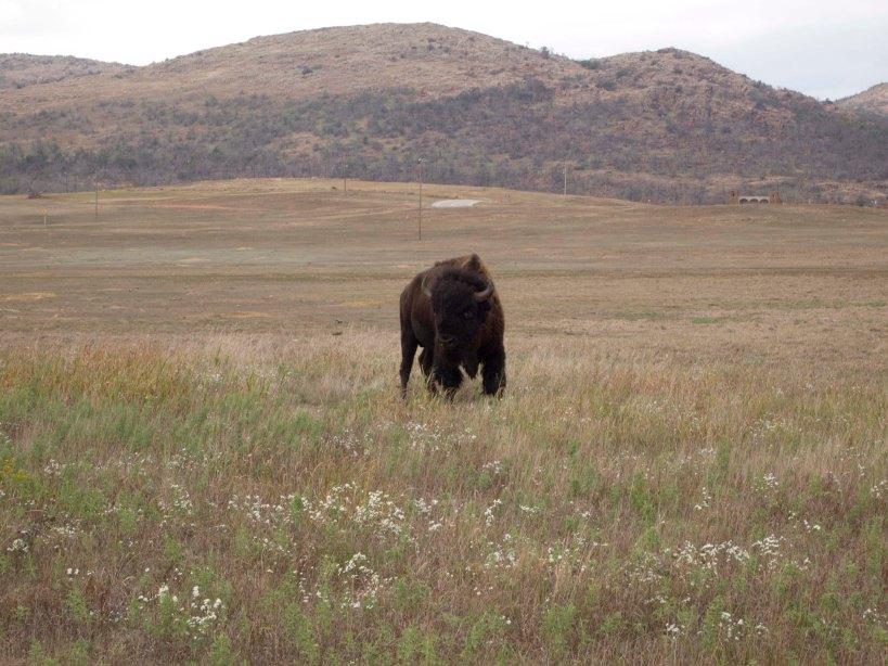 Buffalo in the Wildlife Reserve